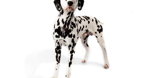 Dalmatian Köpeği Eğitimi Özellikleri ve Bakımı