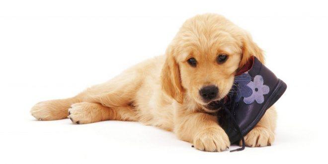 Köpeğiniz tüm eşyaları kemiriyor mu?