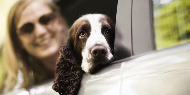 Köpeğinizin Araç Fobisini Yenmeniz İçin Çözüm Yolları