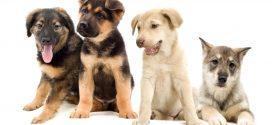 Yavru Köpek Nasıl Eğitilir?